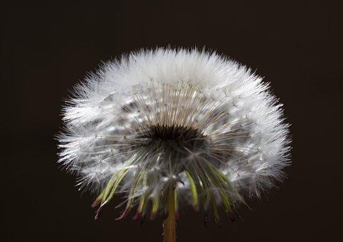 Dandelion, Plant, Seed Head, Blowball, Fluffy