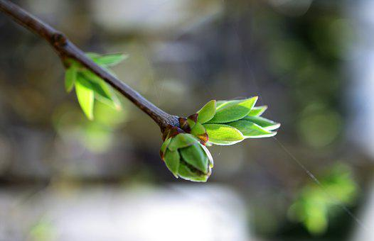 Lilac, Buds, Branch, Tree, Garden, Spring