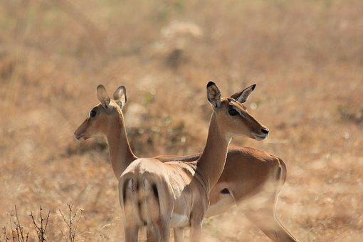 Deer, Bucks, Ruminant, Wildlife, Animals, Mikumi