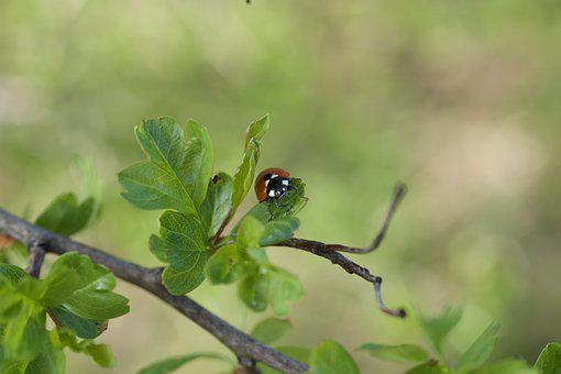 Ladybug, Beetle, Insect, Leaves, Spotted, Branch