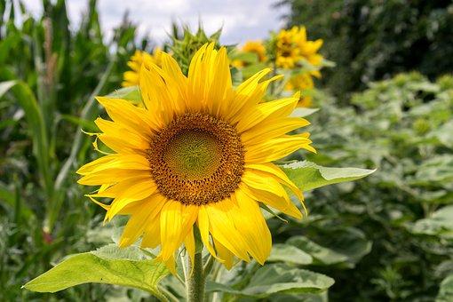 Sunflower, Flower, Summer, Blossom, Bloom, Yellow