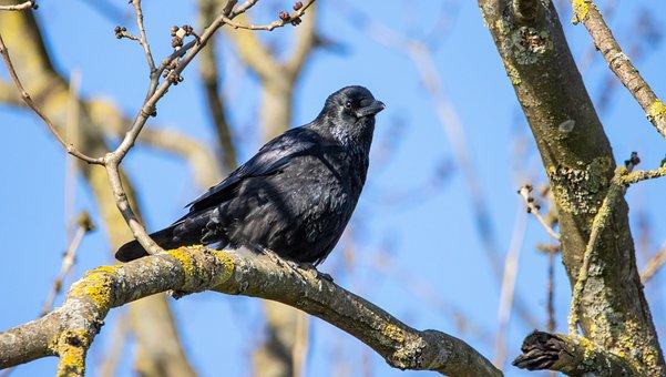 Bird, Crow, Branch, Tree, Raven Bird, Bill, Animal