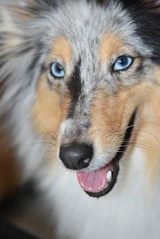 Dog, Canine, Shetland Sheepdog, Female, Blue Eyes