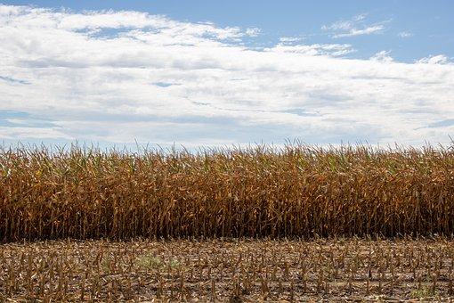 Field, Cornfield, Corn, Agriculture, Rural, Sky, Summer