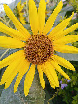 Common Sunflower, Domesticate In Pakistan