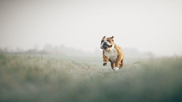 Bulldog, Field, Running, Playing, Dog, Pet, Animal