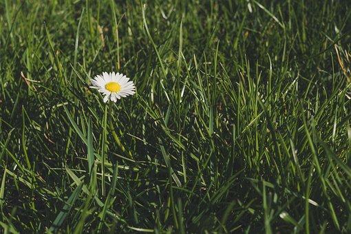 Daisy, Flower, Grass, Plant, White Flower, Bloom, Flora