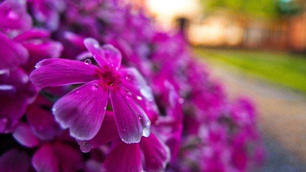 Flowers, Petals, Dew, Drops, Garden, Spring, Flora