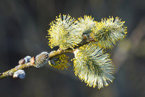 Willow Catkin, Plants, Flowers, Buds, Nature