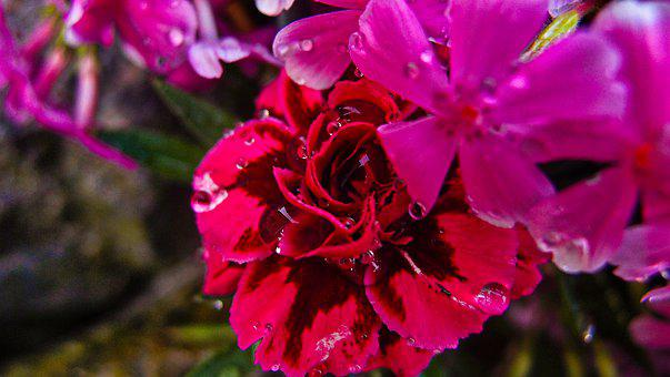 Flowers, Petals, Plant, Dew, Drops, Flora, Garden
