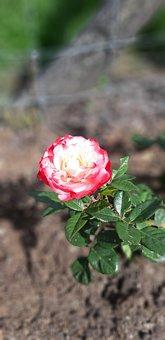 Flower, Rose, Petals, Soil, Flora, Botany, Garden