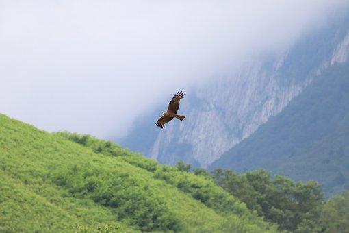 Bird, Falcon, Kestrel, Hawk, Raptor, Wings, Rapacious