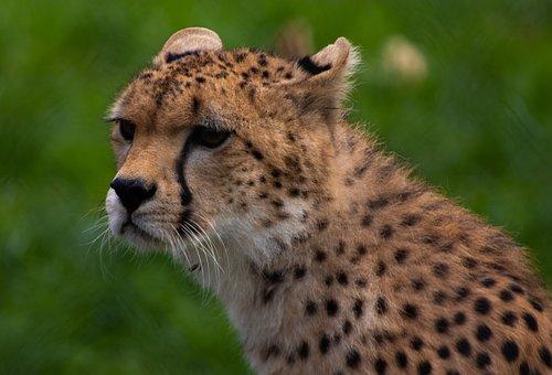 Cheetah, Animal, Head, Mammal, Big Cat, Wild Animal