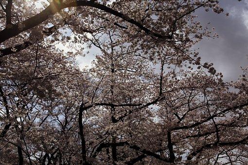 Japanese Cherry Blossoms, Menopause, Single Petals
