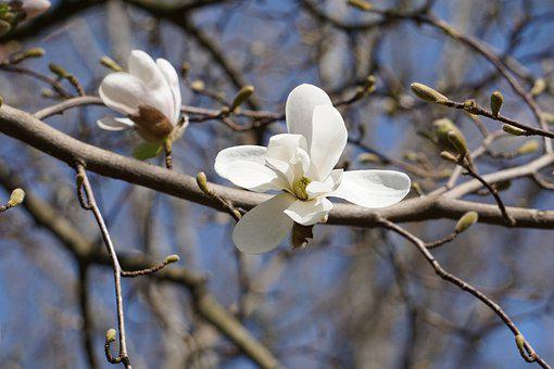 Flowers, Petals, Tree, Branch, Magnolia, Blossom, Bloom