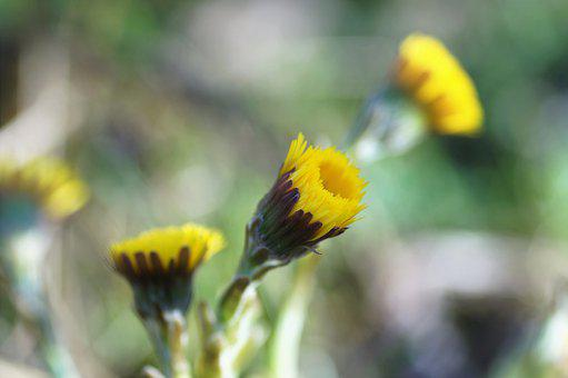 Coltsfoot, Flower, Plant, Yellow Flower