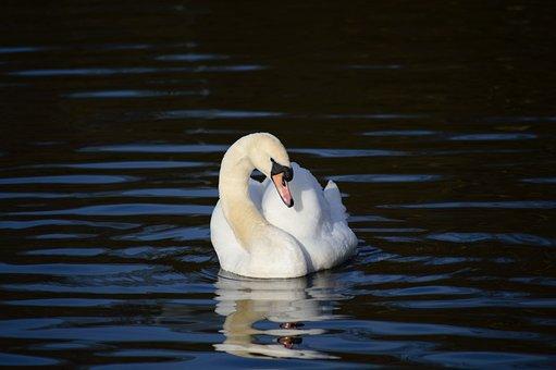 Swan, Waterfowl, Feathers, Plumage, Cygnus Olor