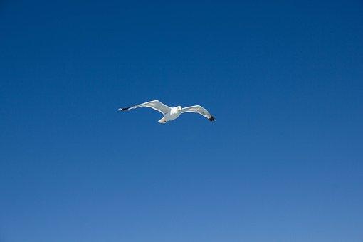 Seagull, Flying, Sky, Bird, Gull, Animal, Sea Bird