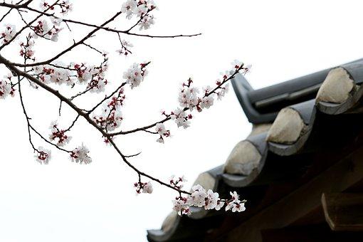 Cherry Blossom, Cherry Tree, Spring, Flowers, Pink