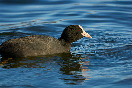Coot, Tongue, Water, Bird, Animal, Fowl, Swimming
