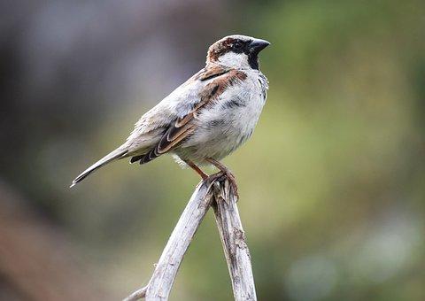 Sparrow, Bird, Wood, Perched, House Sparrow