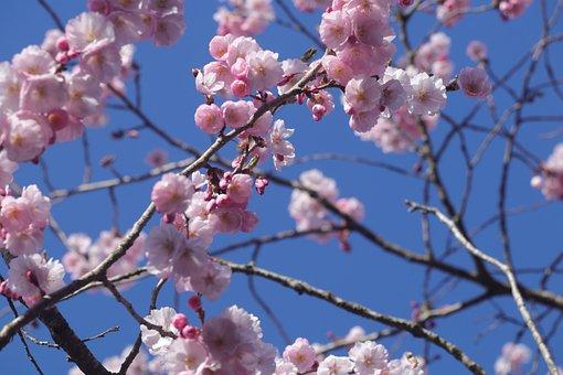 Cherry Blossom, Flower, Tree, Blossom, Nature, Spring