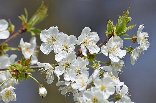 Spring, Flower, Tree, Nature, Blossom, Bloom, Plant