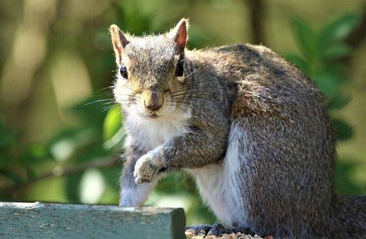 Squirrel, Rodent, Wildlife, Furry, Wild, Fluffy