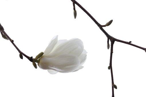 Magnolia, Flower, Branch, Buds, Petals, Kobus Magnolia