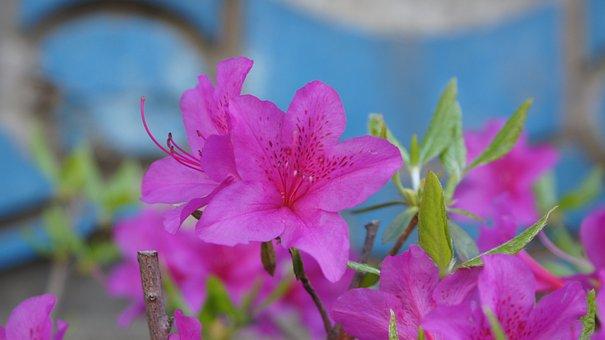 Azaleas, Flowers, Plant, Petals, Pink Flowers