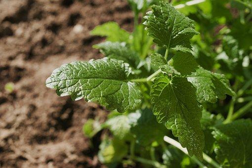 Mint, Plant, Leaves, Peppermint, Medicinal Plant