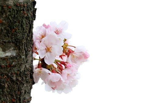 Cherry Blossom, Flowers, Bark, Trunk, Spring, Bloom