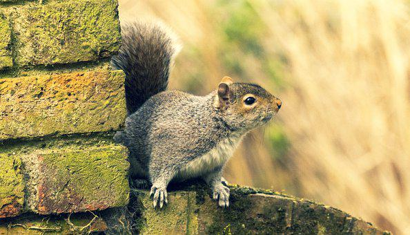 Squirrel, Rodent, Animal, Wildlife, Cute, Fluffy