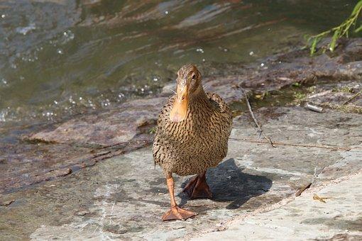Duck, Mallard, Bird, Waterfowl, Water Bird