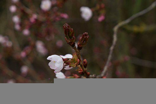 Spring, Cherry Blossoms, Blossom, Bloom, Tree, Nature