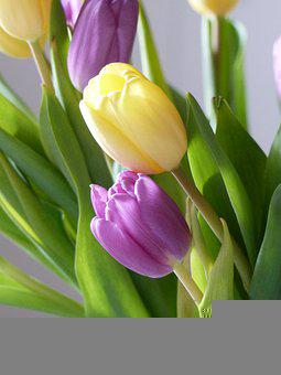 Tulips, Purple, Yellow, Flowers, Bloom, Blossom, Flora