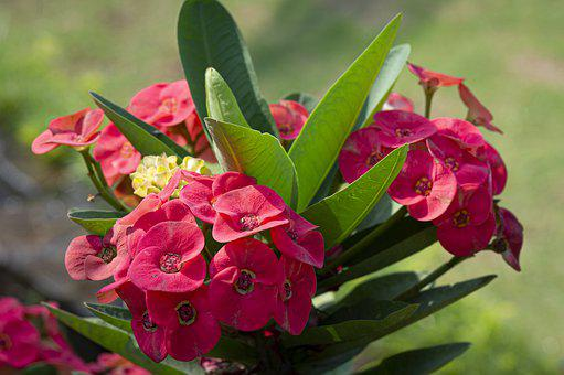 Crown Of Thorns, Flowers, Plant, Red Flowers, Petals