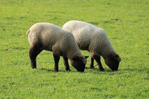 Lambs, Sheep, Pair, Wool, Farm, Cattle, Pasture, Meadow