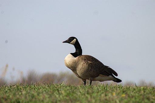 Canada Goose, Goose, Field, Bird, Waterfowl, Water Bird