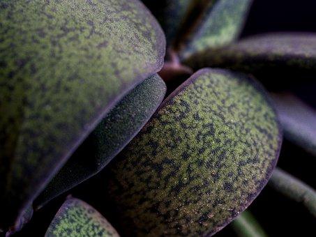 Succulent, Foliage, Rosette, Flesh, Green, Spiked