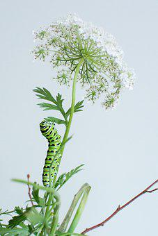 Swallowtail, Queen Anne's Lace, White, Flower, Nature