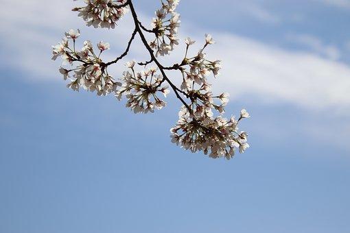 Cherry Blossom, Flowers, Sky, Spring, White Flowers