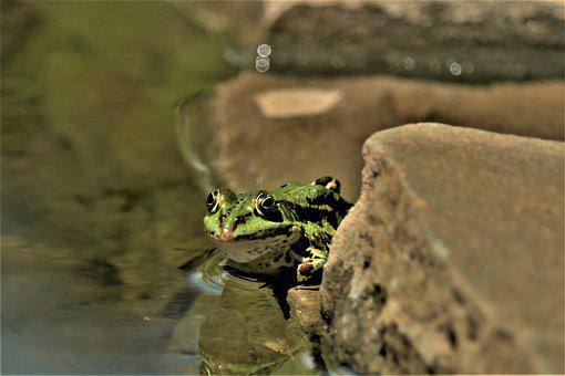 Frog, Water, Pond, Water Frog, Amphibian, Puddle, Green