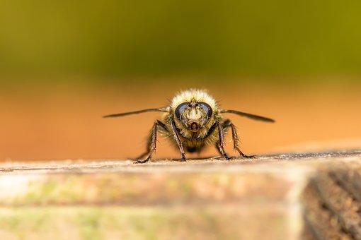 Hummel, Bee, Insect, Hymenoptera, Nature