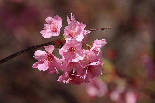 Pink Flowers, Japanese Cherry Blossom, Flowers