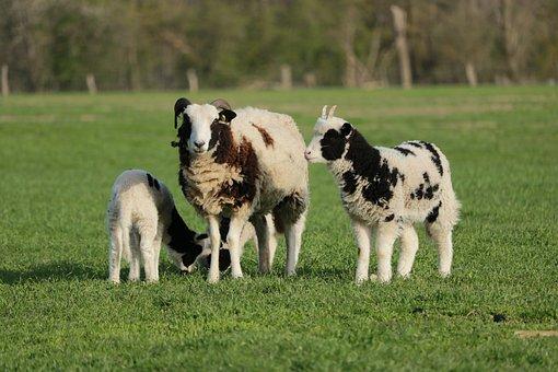 Sheep, Lamb, Pasture, Animals, Mammals, Young Animal