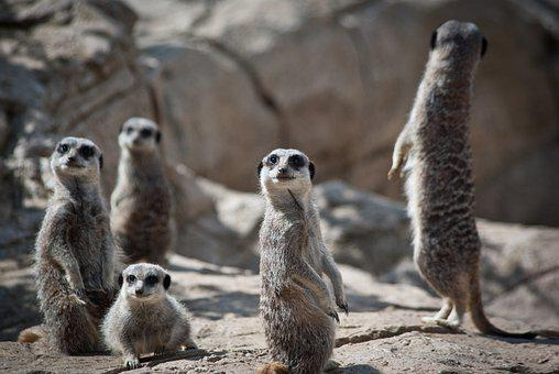 Meerkats, Family, Suricate, Mongoose, Mammals, Animals