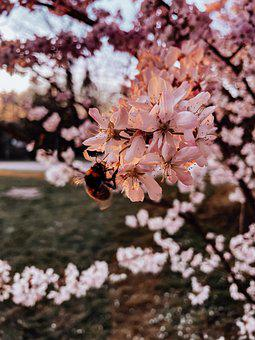 Hummel, Flowers, Cherry Blossom, Nature, Sunset, Eat