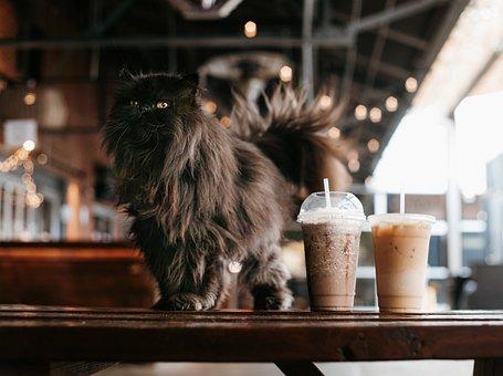 Cat, Iced Coffee, Cafe, Persian Cat, Pet, Black Cat
