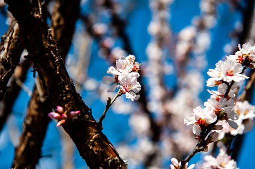 Flowers, Spring, Cherry Blossom, Plants, Nature, White